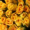 Gold Strike - Yellow roses