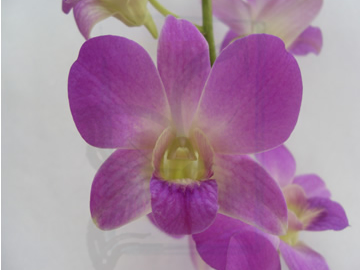 premium flowers new zealand dendrobium